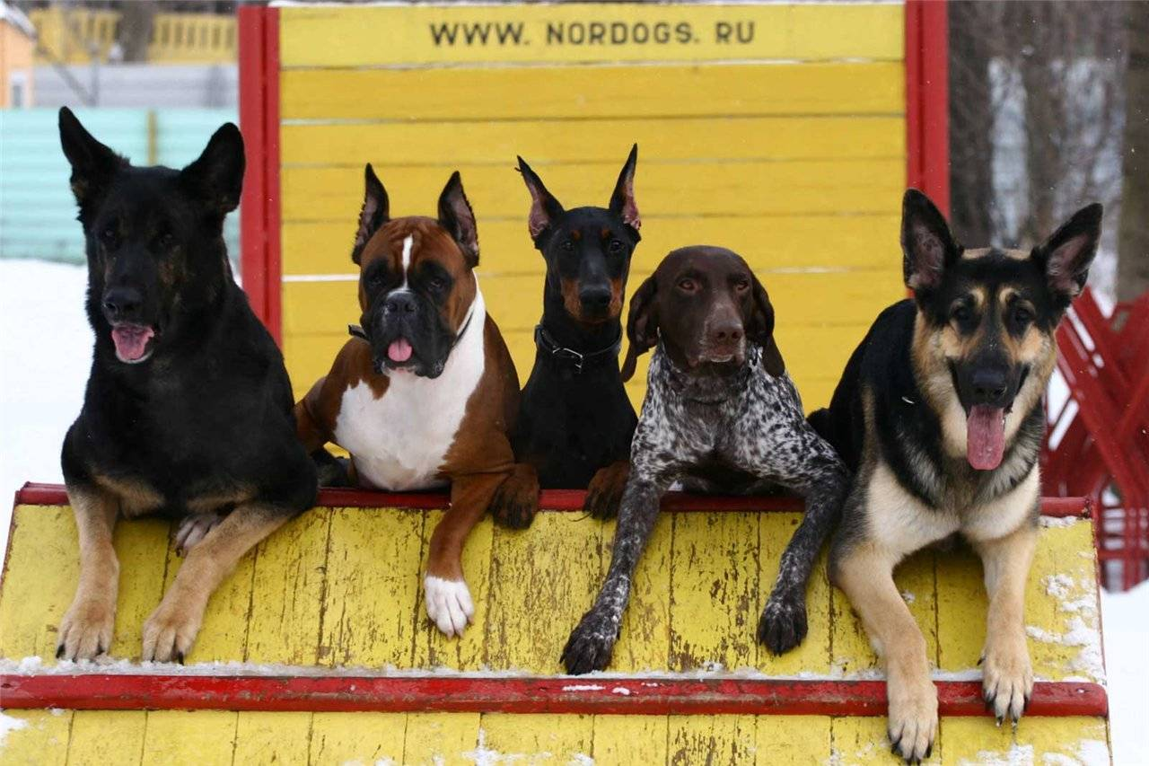 Самые умные породы собак в мире – топ 10, с фото и названиями
