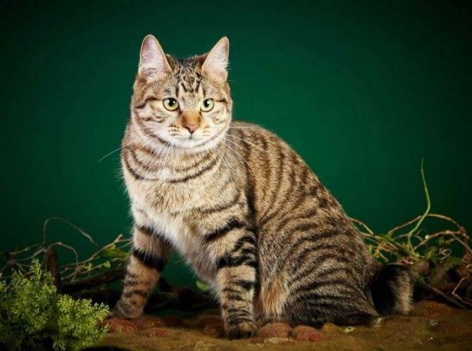 Описание и характер короткохвостых кошек породы пиксибоб – уход и содержание