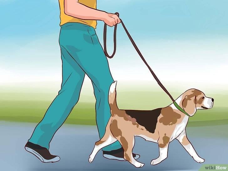 Корги: дрессировка и воспитание питомца на улице, а также как должна проходить первая прогулка домашнего любимца