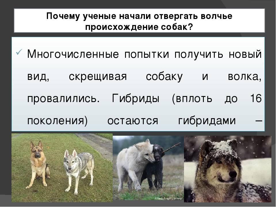 Все о собаках. происхождение. интересные факты. (фото)