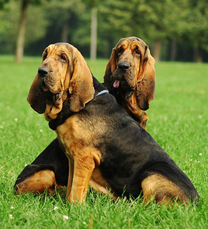 Собака бладхаунд - характеристика породы и особенности содержания