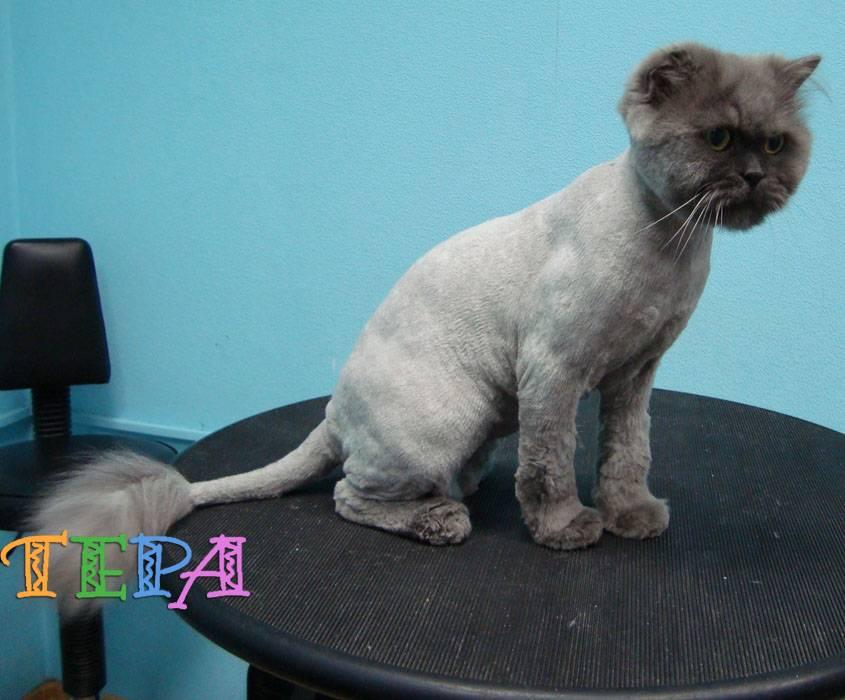 Распространенные болезни британских кошек, их симптомы и лечение