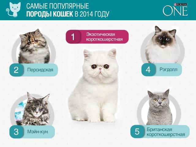 Какие породы кошек самые распространённые в россии. топ-10 самых популярных пород кошек с описанием и фото