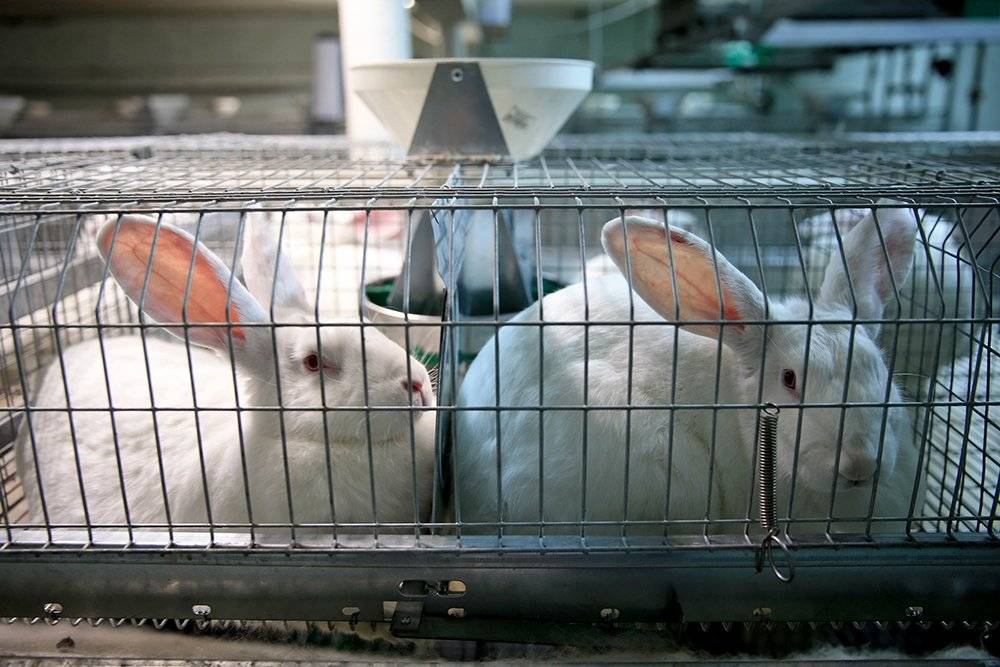Разведение кроликов: три вида кролиководства, рассчитываем начало бизнеса — 2020
