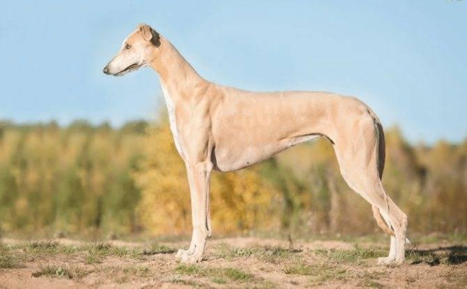 Грейхаунд собака. описание, особенности, уход и цена грейхаунда   sobakagav.ru