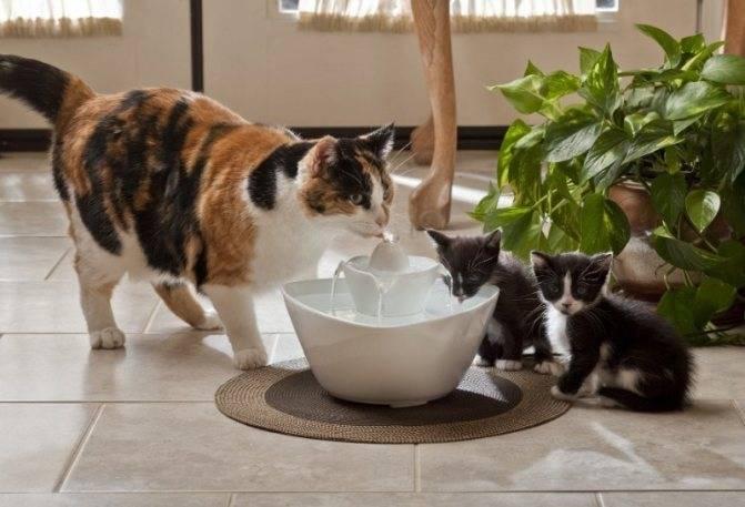 Причины отказа от воды у котят: примеры как заставить и приучить к миске
