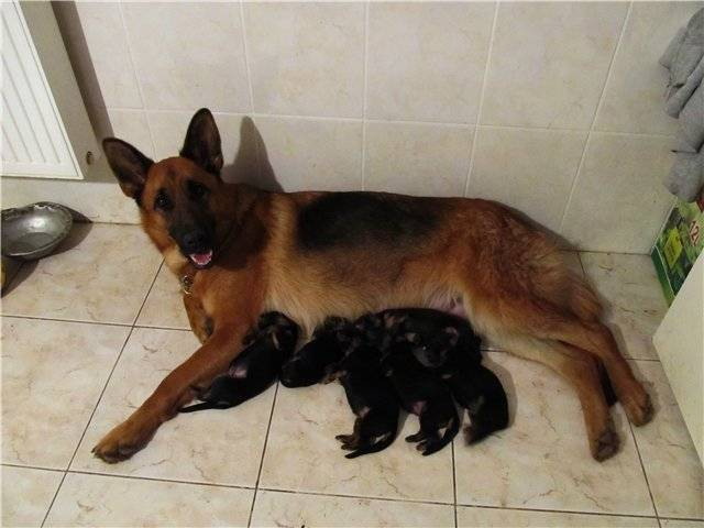 Рацион питания щенка немецкой овчарки