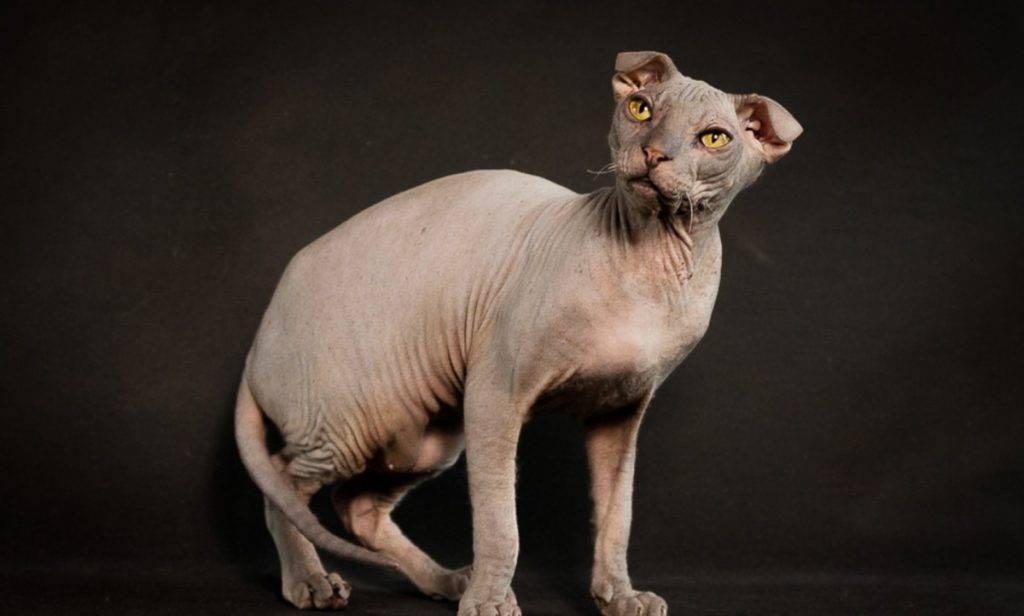 Донской сфинкс: фото, описание породы кошек, отзывы, характер и уход