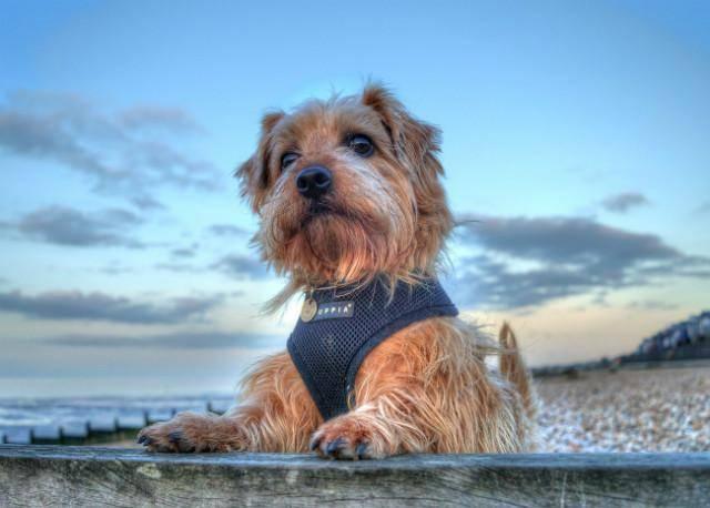 Норвич-терьер: описание породы и характер собаки