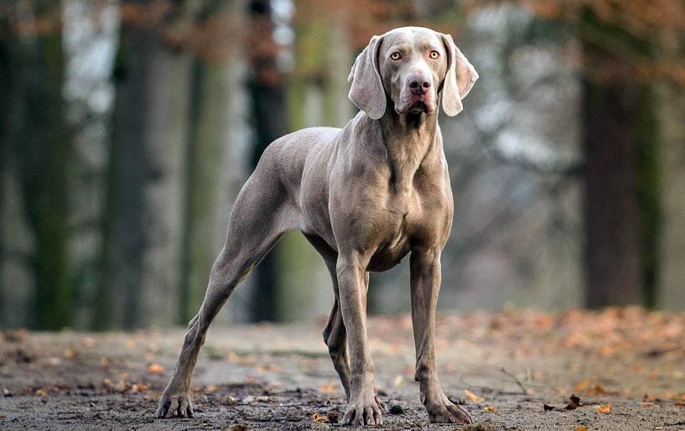 Внешность бывает обманчива! 5 пород собак с брутальной внешностью, но ангельским характером | pets2.me | яндекс дзен