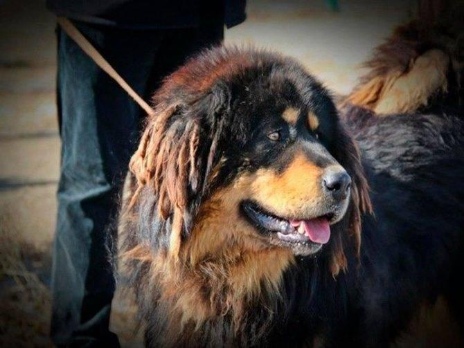 Монгольская овчарка-банхар: описание и характер