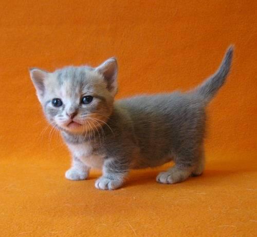 Самая маленькая порода кошек: топ-7 представителей миниатюрных пород