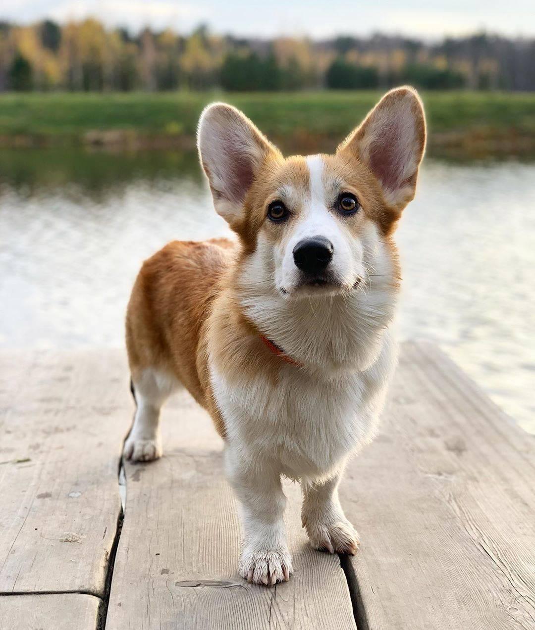 Породы маленьких гладкошерстных собак