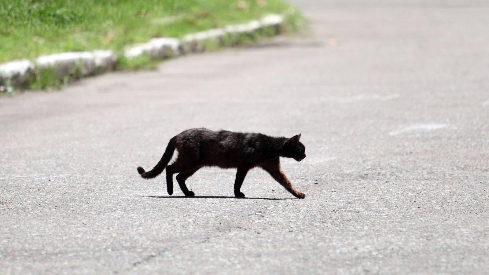 Черная кошка в доме: приметы и поверья, что означает
