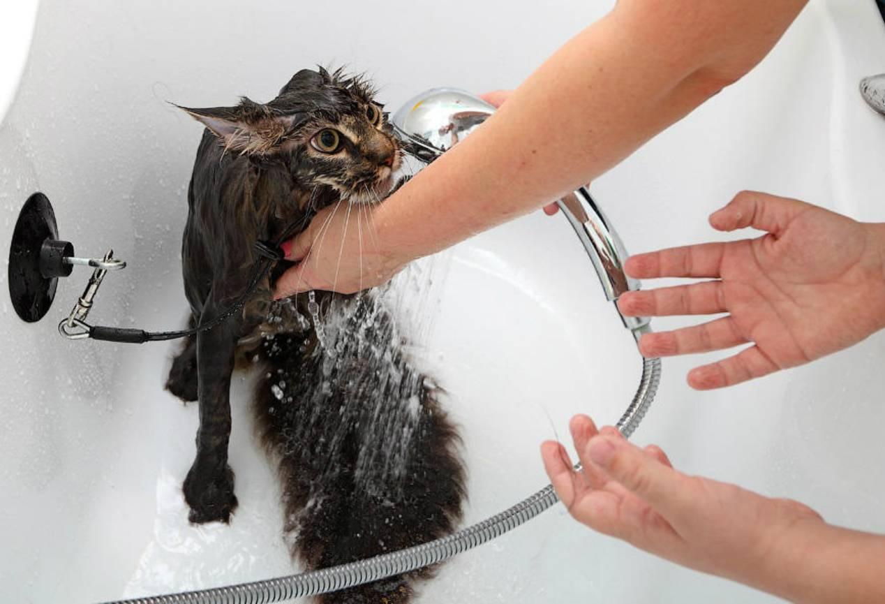 С какого возраста можно купать котят?   zdavnews.ru