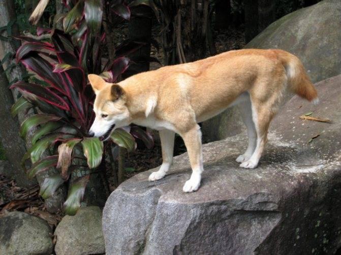Дикая собака динго. собака динго: где живет, особенности и описание основные сведения о породе