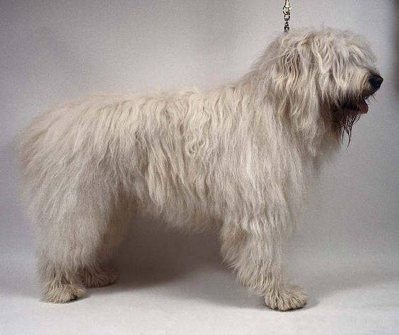 Южнорусская овчарка (юро): описание породы собак с фото и видео