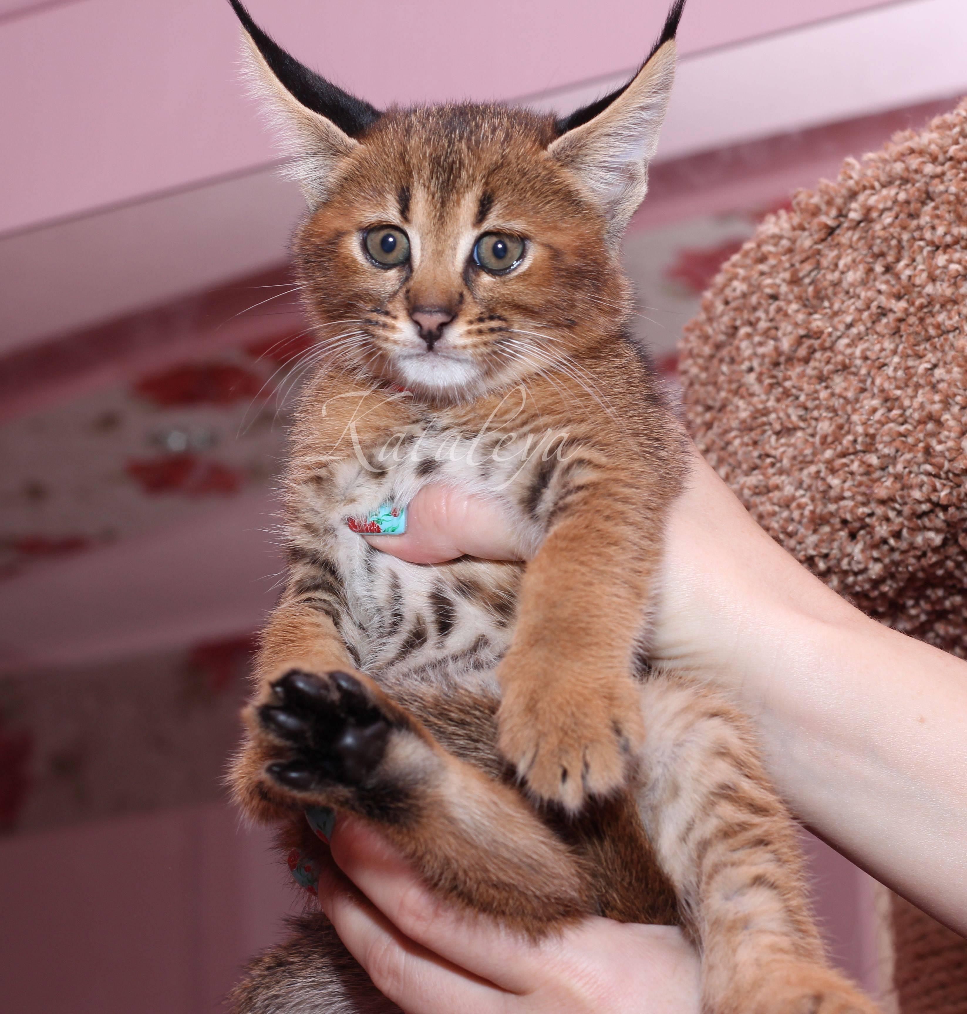 Корат кошка. описание, особенности, уход и цена кошки породы корат   животный мир