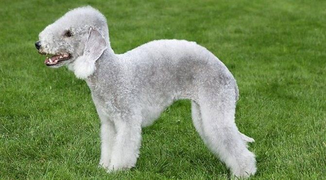 Порода собак бедлингтон терьер: фото, видео, описание породы и характер