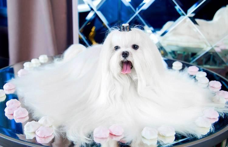 Мальтезе (мальтийская болонка): все о породе, цена, фото, мини собака, содержание, сколько живут