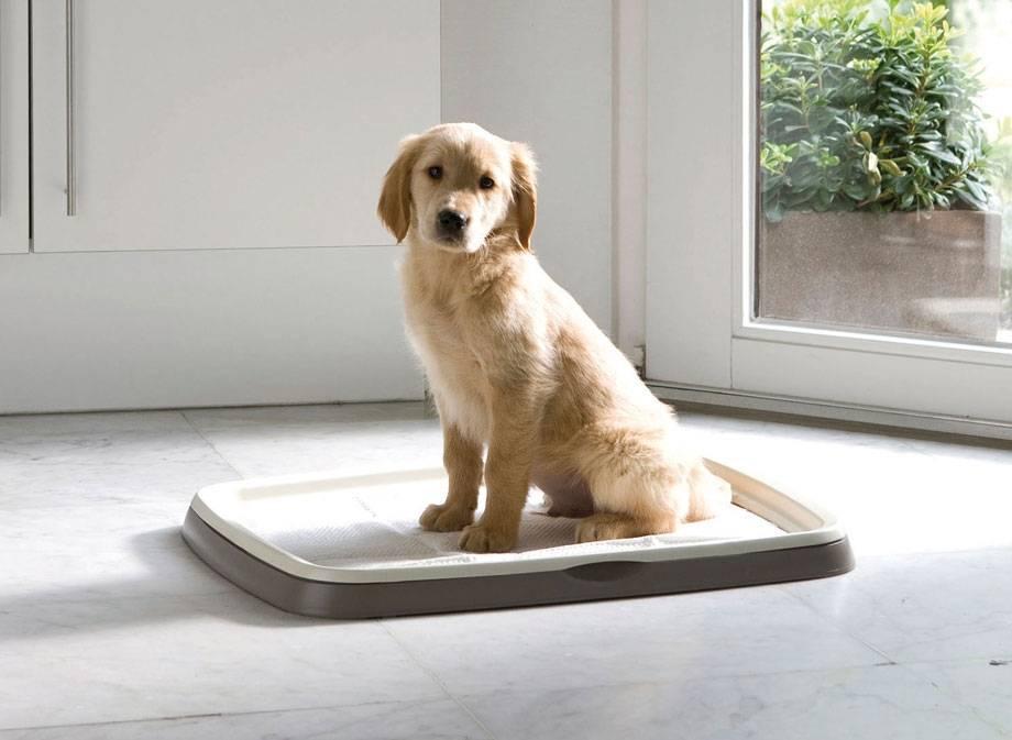 Как приучить собаку к лотку, общая методика, правила, советы, видео