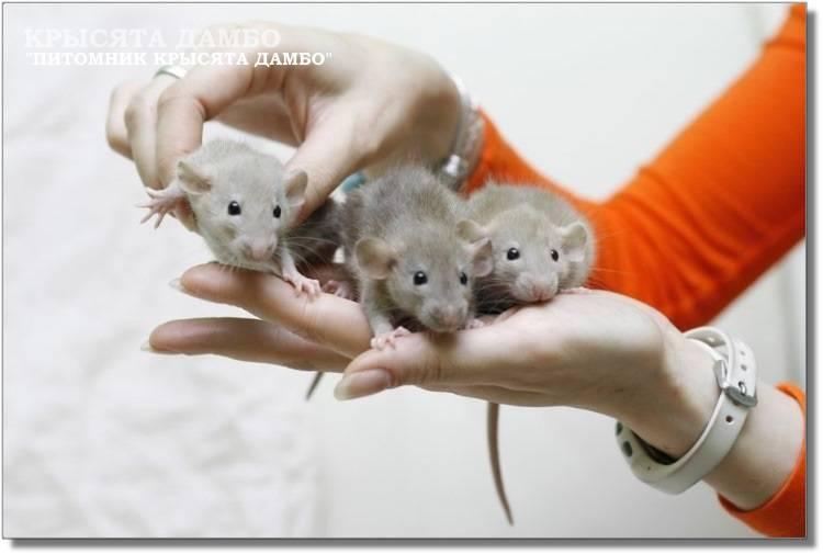 Домашняя декоративная крыса: уход и содержание в домашних условиях