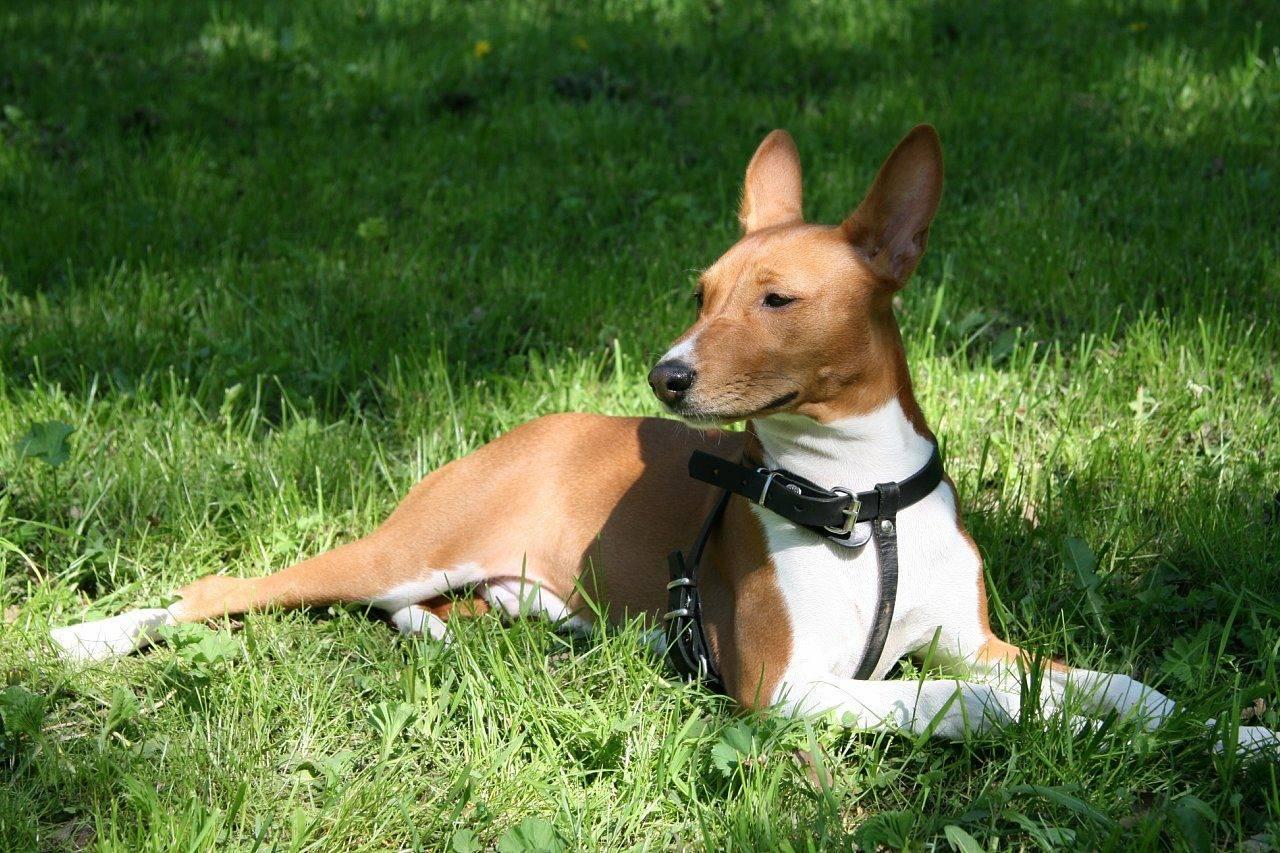 Африканская нелающая собака басенджи: описание породы, характеристика, внешние признаки и уход