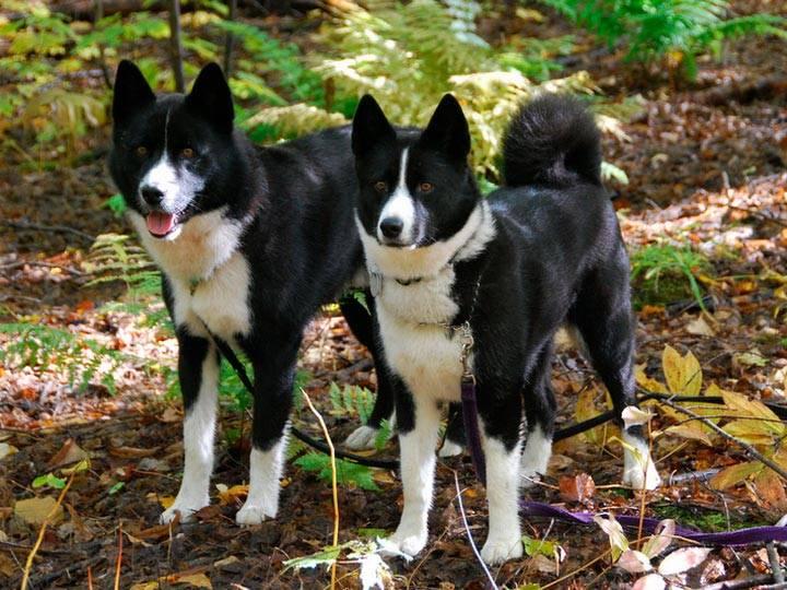 Карельская медвежья собака. описание, особенности, уход и цена породы | животный мир