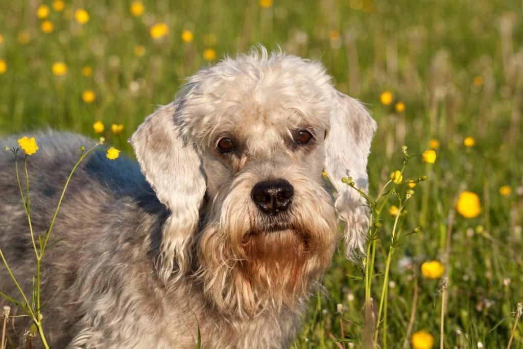 Денди-динмонт-терьер. о породе собак: описание породы денди-динмонт-терьер, цены, фото, уход