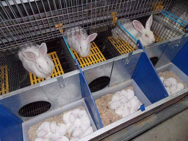 Разведение кроликов в домашних условиях: условия содержания, ухода, кормления и размножения