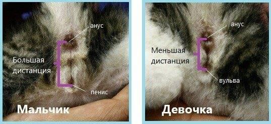 Как определить пол кошки или кота: в 6, 3 месяцев