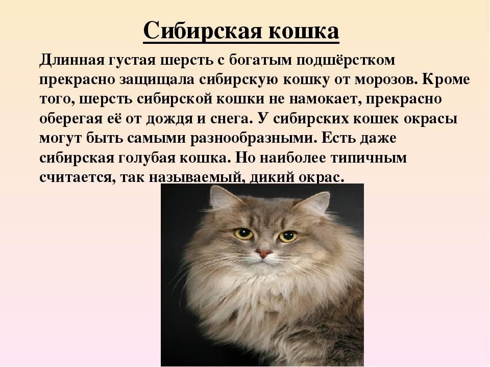 Невская маскарадная кошка: описание породы, характер, уход и содержание, фото