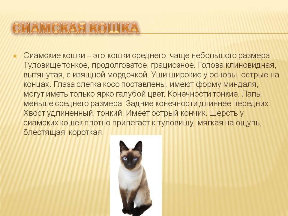 Сиамская кошка: описание породы, характер и повадки, отзывы владельцев, фото, выбор котенка, отличие от тайских котов