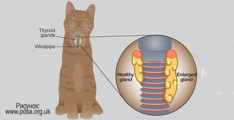 Гиперпаратиреоз у кошек: как выявить и чем лечить