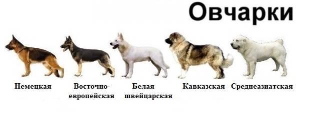 Разновидности немецкой овчарки. рабочие линии, восточные линии, чешская и американская, английская линия и швейцарская и другие.