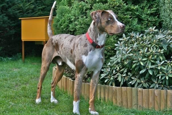 Леопардовая собака катахулы: описание, достоинства и недостатки, темперамент, правила ухода