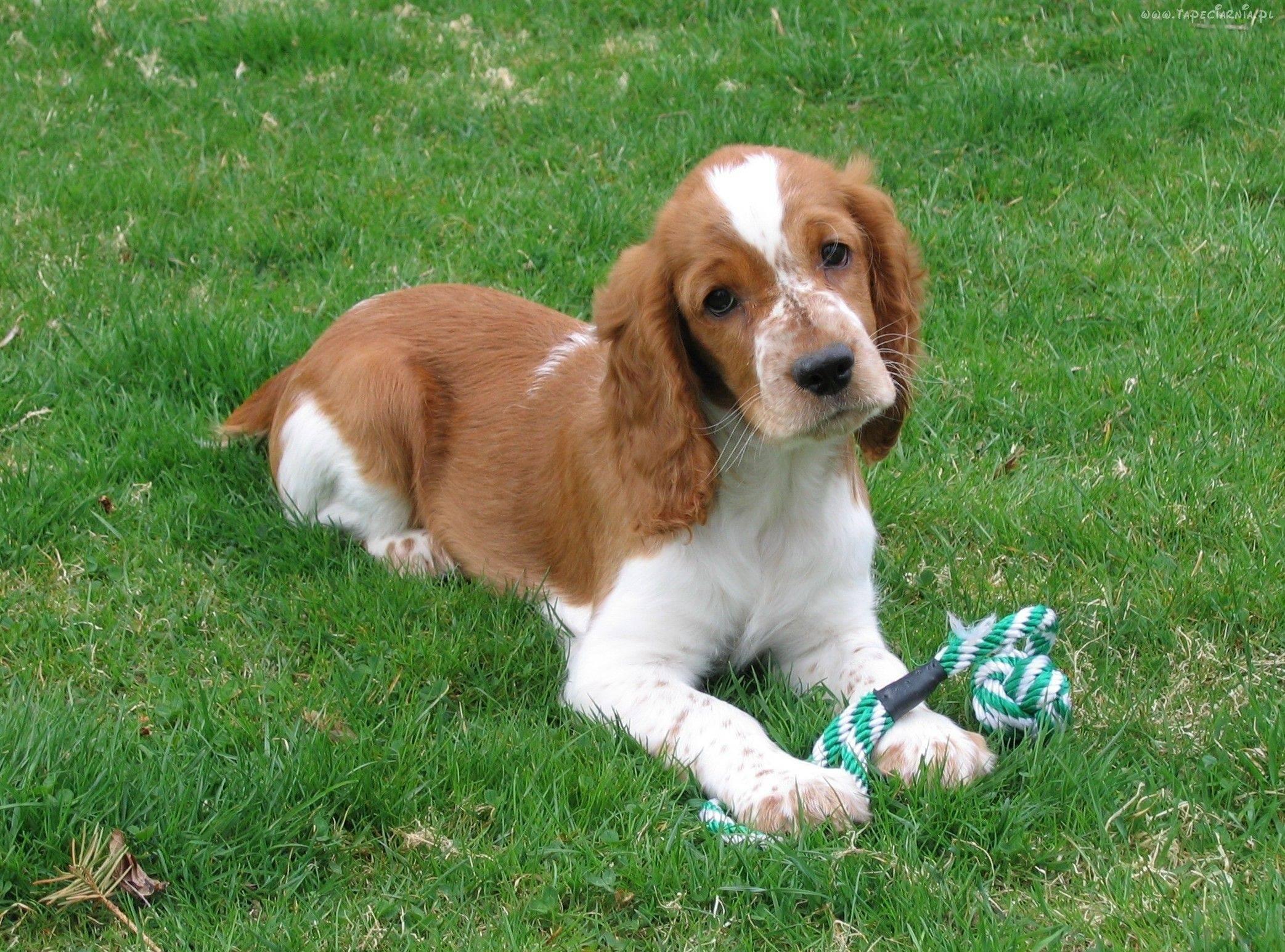 Вельш-спрингер-спаниель: фото собак, история породы, описание экстерьера, особенности характера, правила ухода и выбор щенка