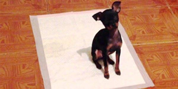 Как приучить щенка ходить в туалет на пеленку