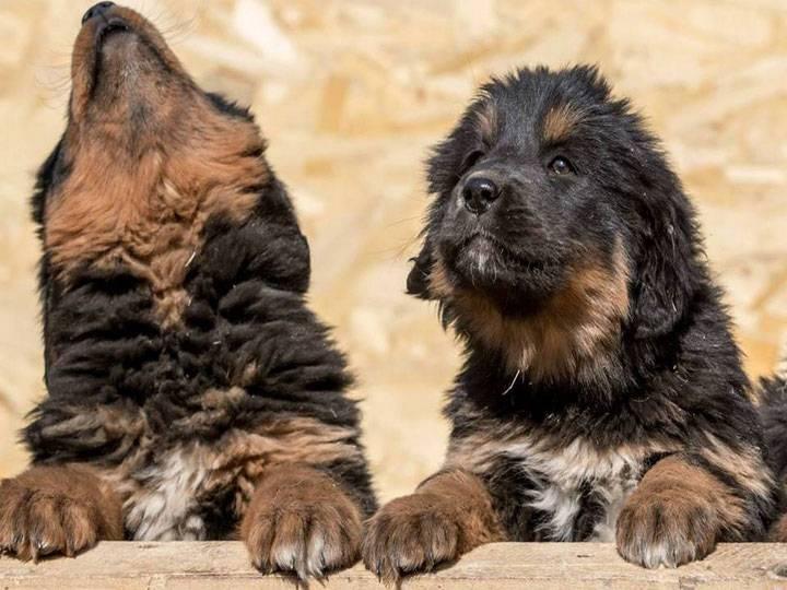 Монгольская овчарка: описание породы, содержание, кормление и воспитание банхара