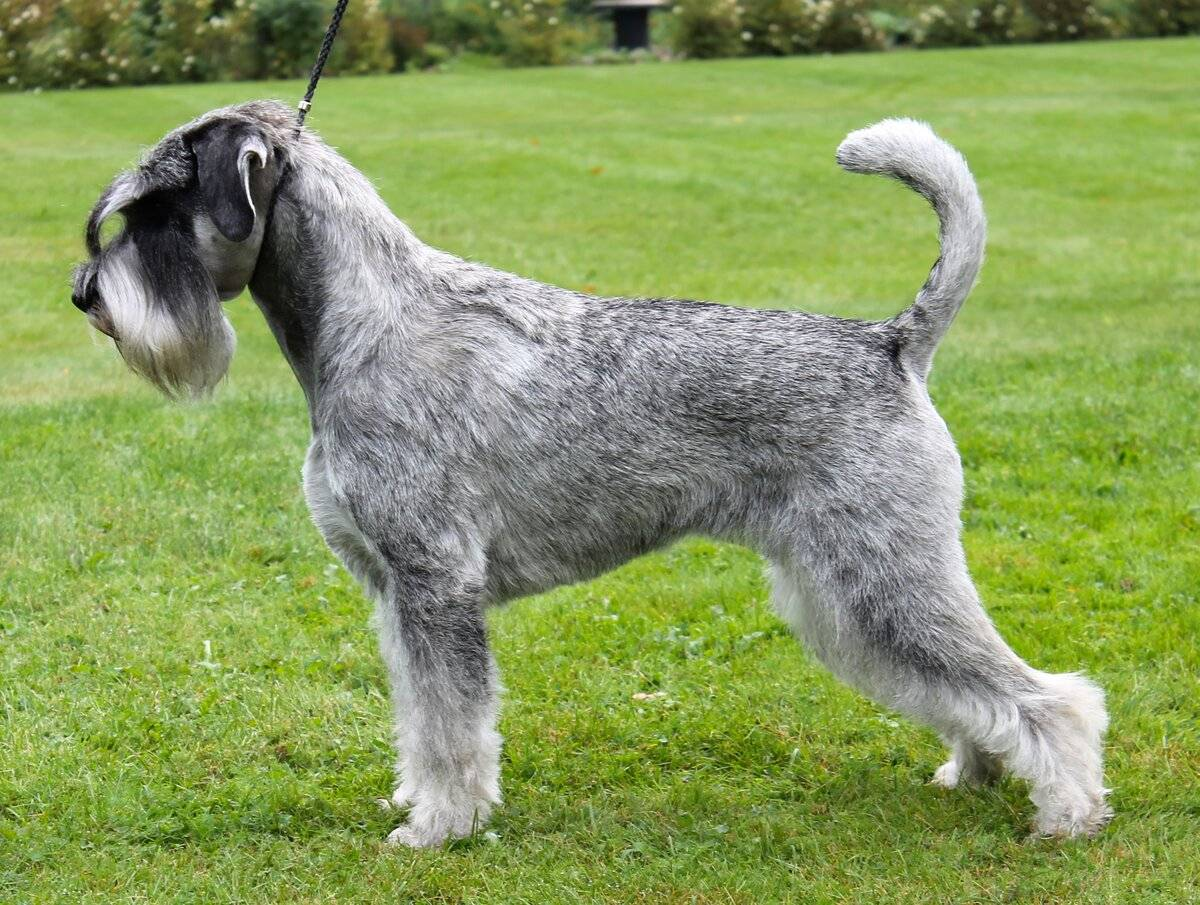 Миттельшнауцер: все о собаке, фото, описание породы, характер, цена