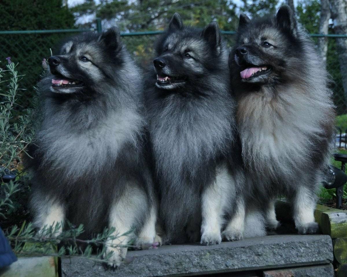 Кеесхонд собака. описание, особенности, уход и цена кеесхонда | животный мир