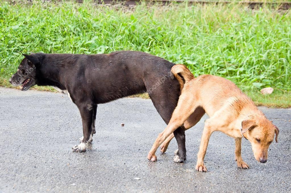 Почему собаки прилипают друг к другу попами: что делать после спаривания
