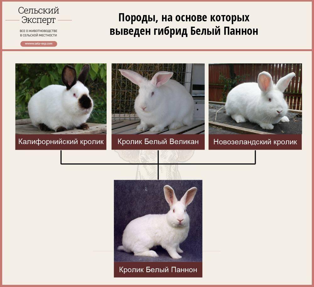 Кролик породы бабочка