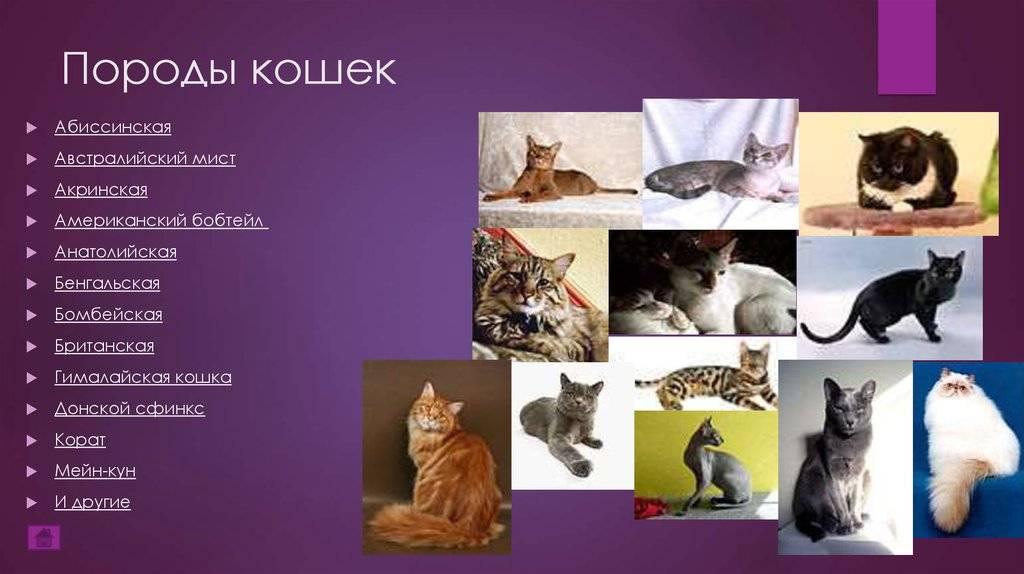 Бобтейл: характеристики породы, фото кошки, как правильно кормить и ухаживать, как выбрать котенка, отзывы владельцев кота