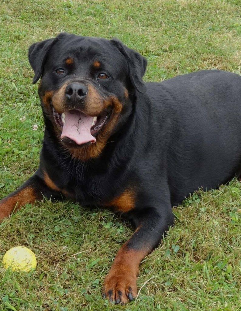 Щенок ротвейлер: описание породы и характер собаки