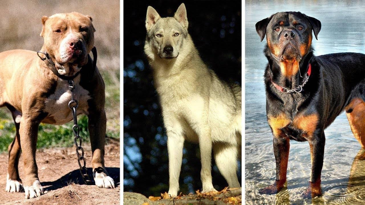 Топ-10 самые опасные породы собак в мире