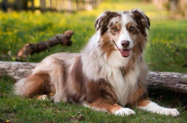 Австралийская овчарка (аусси): стандарт породы