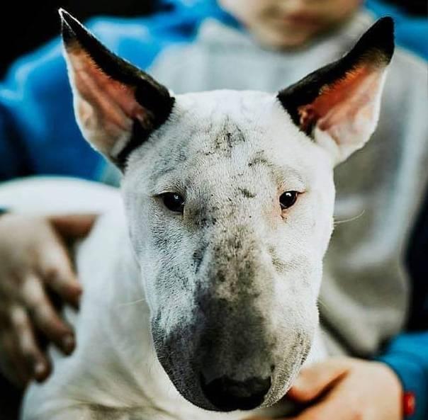 Бультерьер — боевые меланхолики среди собак