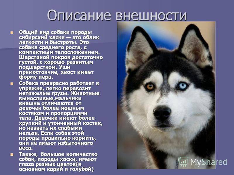 Метис хаски и овчарки, питбуля, волка, маламута, мопса и других
