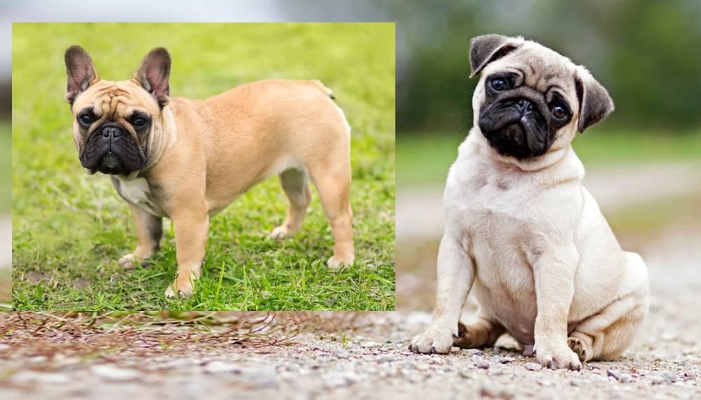 Мопс или французский бульдог: кого выбрать, в чем их отличие и кто из них лучше + сравнение этих двух пород